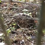Type I armadillo at Muddy Creek